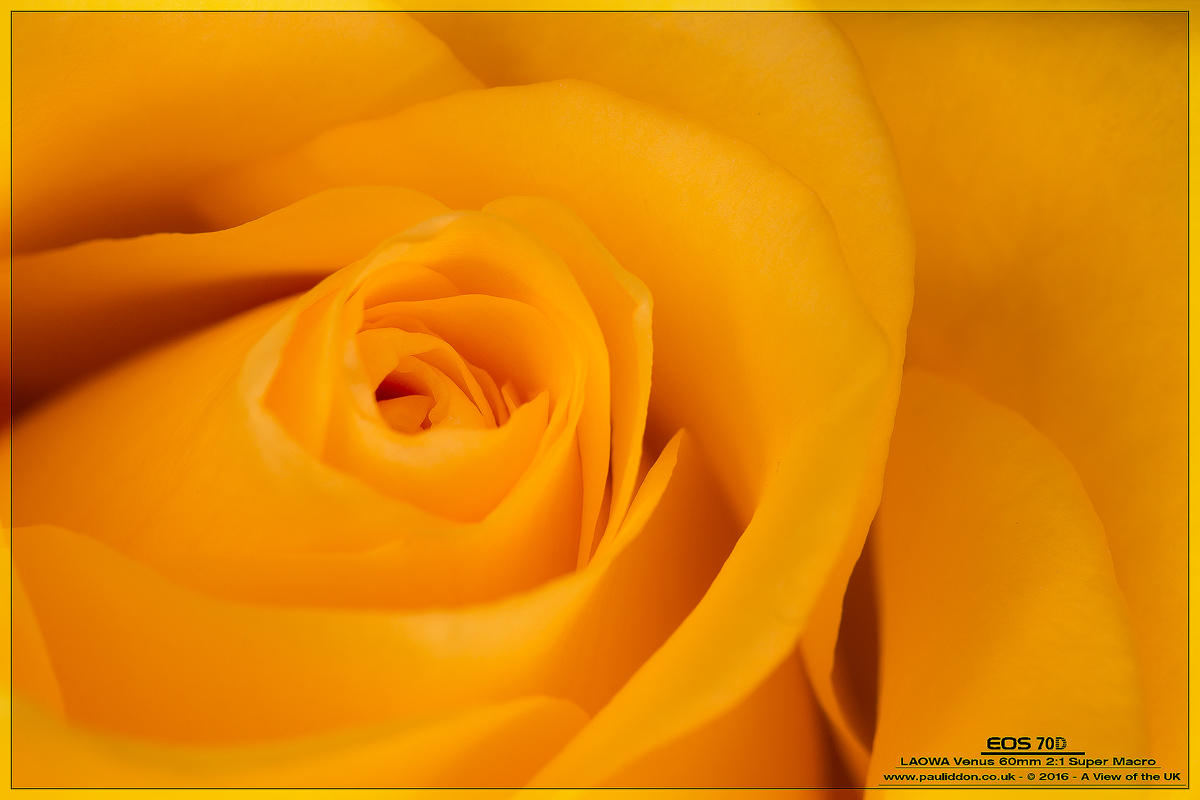 IMAGE: https://pi.smugmug.com/Macro-Gallery/i-TXMNJSD/0/O/1200yellow%20rose.jpg